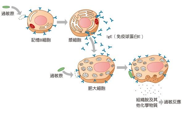 食物進入體內,引發自體免疫系統失調,造成免疫球蛋白IgE攻擊自己體內的器官,釋出致敏物質組織胺(Histamine),所產生的發炎現象。